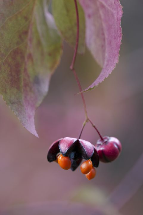 Spindle (Euonymus oxyphyllus) fruit split open with seeds exposed, Yorkshire, UK