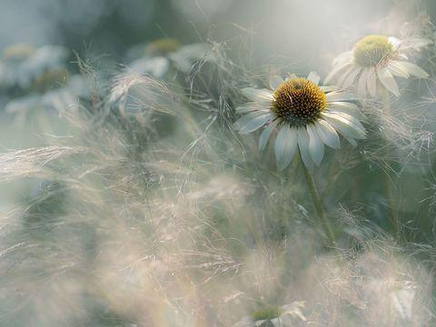 Summer flowering white Coneflowers