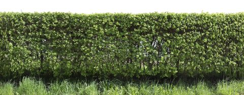 Live Green Spring Fence From Ly Hawthorn Cut Off Bushes