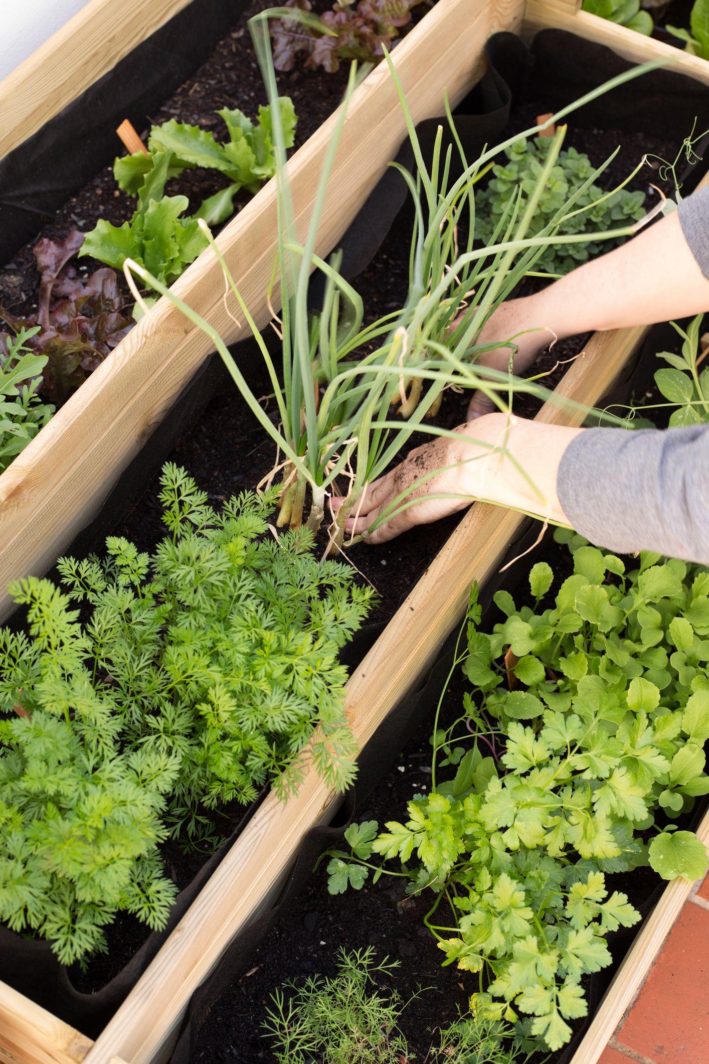 Woman tending to home vegetable garden