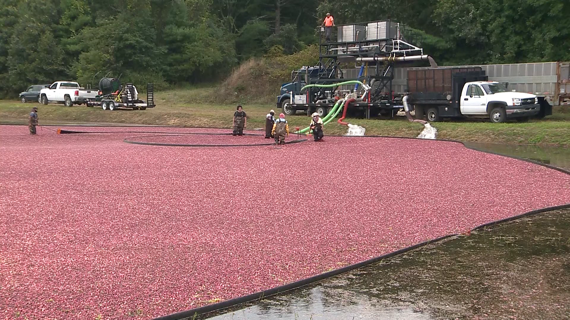 Drought conditions pose tough choices for cranberry growers