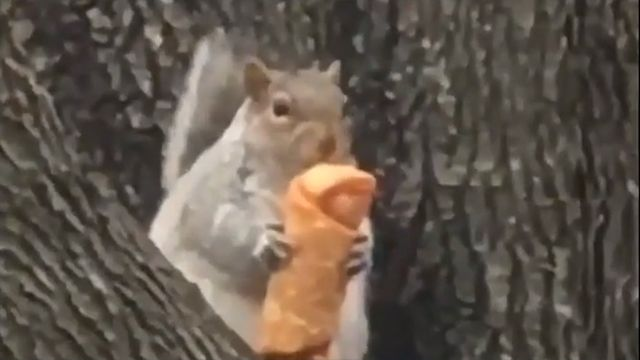Squirrel In Tree Eats Egg Roll Viral