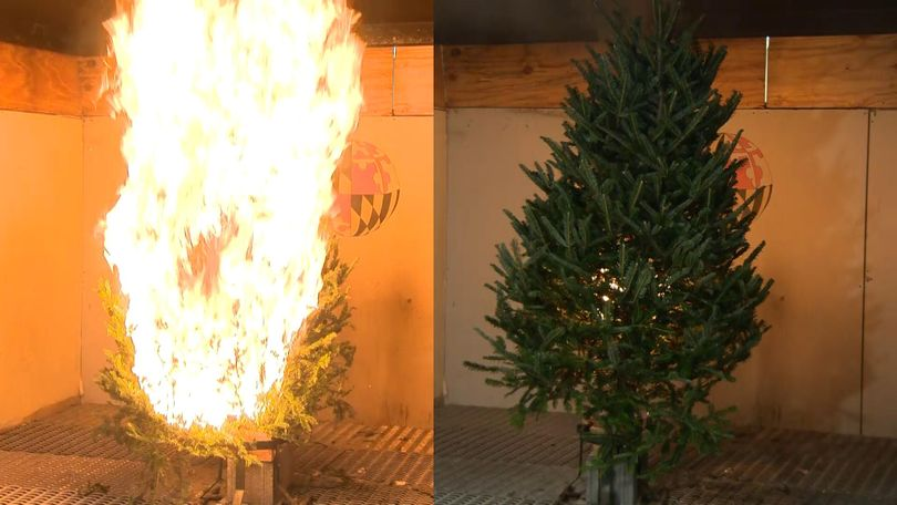 Burning Christmas Tree.Umd Scientists Show Dangers Of Dry Christmas Trees