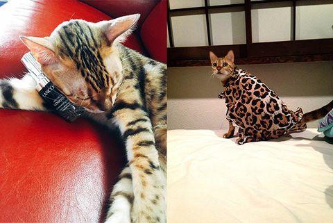 Cat, Mammal, Vertebrate, Small to medium-sized cats, Felidae, Carnivore, Bengal, Whiskers, Kitten, Asian,