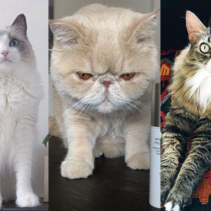 Cat, Mammal, Vertebrate, Small to medium-sized cats, Felidae, Whiskers, Carnivore, Kitten, Norwegian forest cat, Asian semi-longhair,