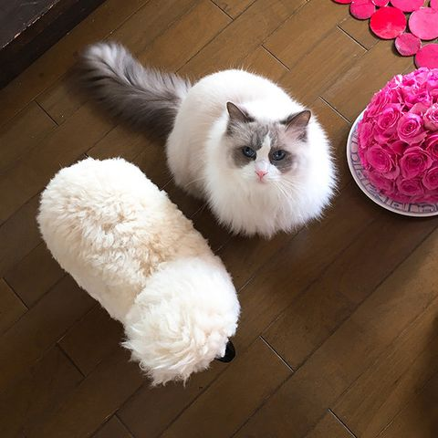 Cat, Mammal, Small to medium-sized cats, Felidae, Ragdoll, Whiskers, Carnivore, Fur, Birman, Domestic long-haired cat,