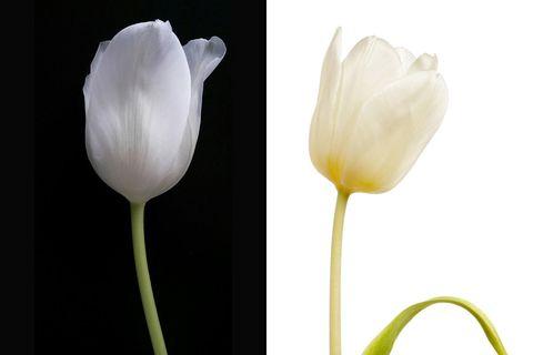 White, Petal, Flower, Plant, Tulip, Botany, Pedicel, Flowering plant, Close-up, Plant stem,