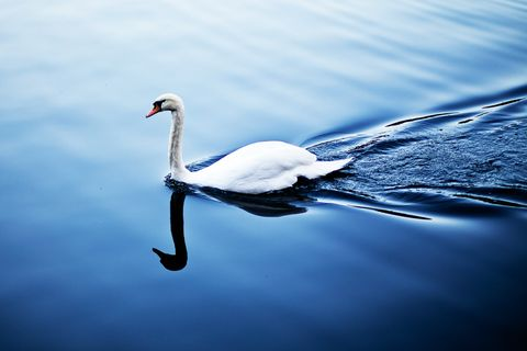Swan, Bird, Reflection, Water, Water bird, Blue, Sky, Ducks, geese and swans, Beak, Waterway,