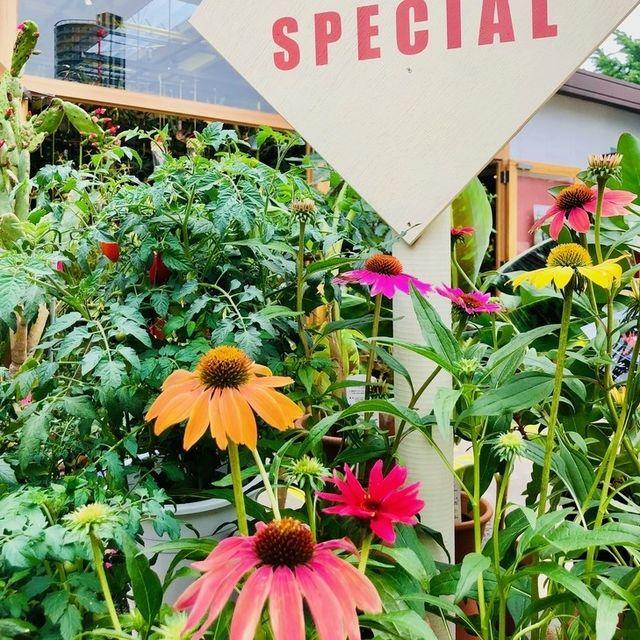 Purple coneflower, Coneflower, Flower, Plant, Yellow, Botany, black-eyed susan, Garden, Flowering plant, Spring,