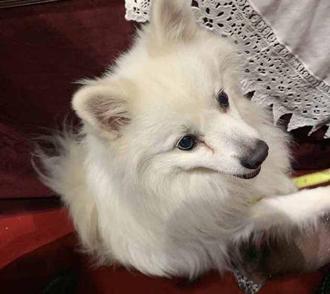 Mammal, Vertebrate, Dog, Canidae, Dog breed, Pomeranian, Volpino italiano, Japanese spitz, American eskimo dog, Samoyed,