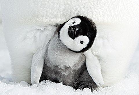 Flightless bird, Penguin, Bird, Stuffed toy, Emperor penguin, Beak, Black-and-white, Fur,