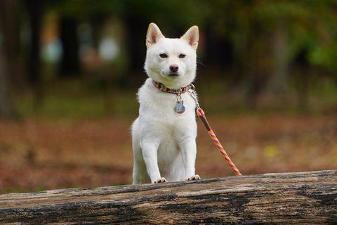 Dog, Mammal, Vertebrate, Canidae, Dog breed, Carnivore, Siberian husky, White shepherd, Pungsan dog, Berger blanc suisse,