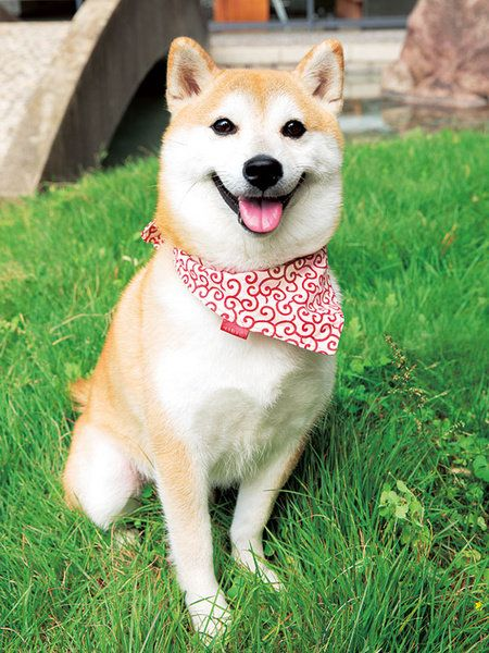 Dog, Mammal, Vertebrate, Canidae, Dog breed, Shiba inu, Akita, Carnivore, Akita inu, Spitz,