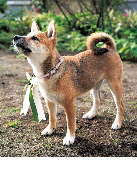Dog, Mammal, Vertebrate, Dog breed, Canidae, Carnivore, Norwegian lundehund, Shikoku, Shiba inu, Akita inu,