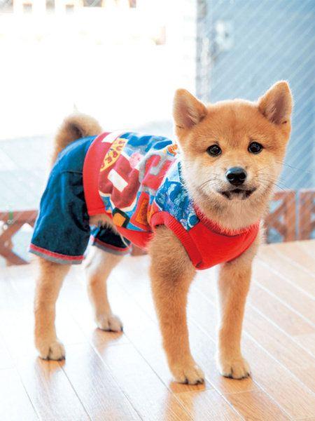 Dog, Shiba inu, Mammal, Dog clothes, Canidae, Dog breed, Spitz, Akita inu, Carnivore, Non-Sporting Group,