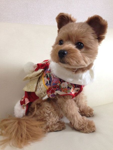 Dog clothes, Dog, Canidae, Dog breed, Yorkshire terrier, Puppy, Dog supply, Carnivore, Companion dog, Dog toy,