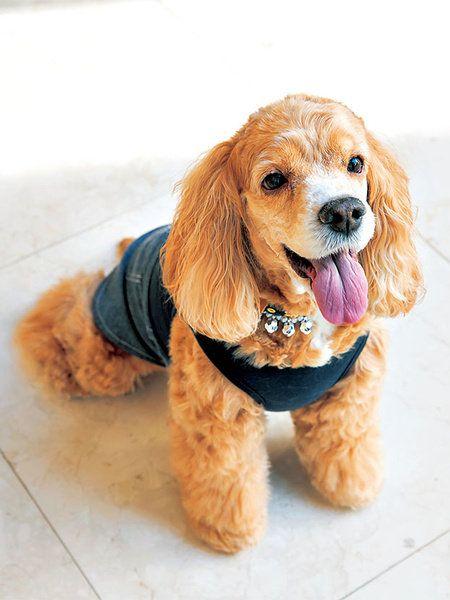Dog, Canidae, Mammal, Dog breed, Cocker spaniel, Companion dog, Carnivore, American cocker spaniel, Spaniel, Snout,