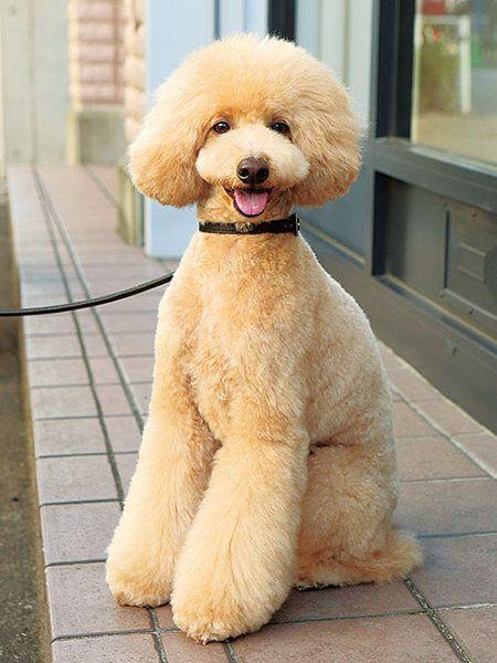 Dog, Vertebrate, Canidae, Mammal, Poodle, Standard Poodle, Dog breed, Miniature Poodle, Toy Poodle, Companion dog,