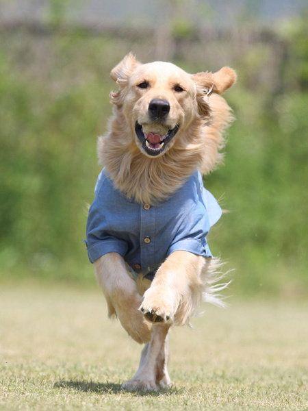 Dog, Mammal, Vertebrate, Canidae, Dog breed, Disc dog, Carnivore, Companion dog, Lure coursing, Golden retriever,
