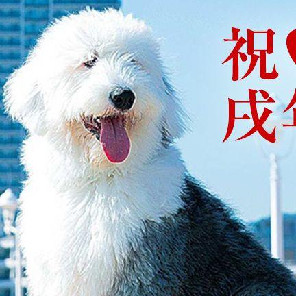 Dog, Mammal, Vertebrate, Canidae, Carnivore, Dog breed, Old english sheepdog, Snout, Rare breed (dog), Companion dog,