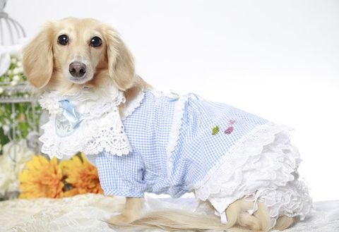 Dog, Canidae, Dog breed, Dog clothes, Carnivore, Puppy, Companion dog, Snout, Sporting Group, Dachshund,