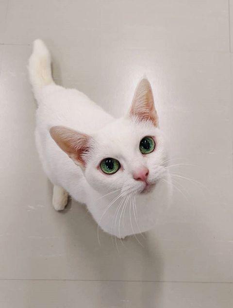 Cat, Small to medium-sized cats, Mammal, Felidae, White, Whiskers, Khao manee, Carnivore, Eye, Burmilla,