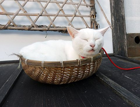 Cat, Small to medium-sized cats, White, Felidae, Basket, Wicker, Whiskers, Khao manee, Carnivore, Turkish van,