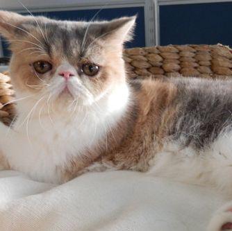 Cat, Mammal, Vertebrate, Small to medium-sized cats, Felidae, Carnivore, Whiskers, British semi-longhair, Norwegian forest cat, British longhair,