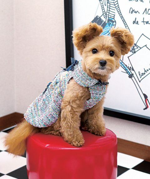 Dog, Canidae, Dog clothes, Dog breed, Yorkshire terrier, Companion dog, Carnivore, Terrier, Puppy, Rare breed (dog),