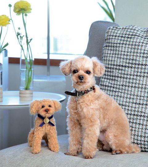 Dog, Canidae, Mammal, Puppy, Dog breed, Toy Poodle, Companion dog, Maltepoo, Carnivore, Poodle,