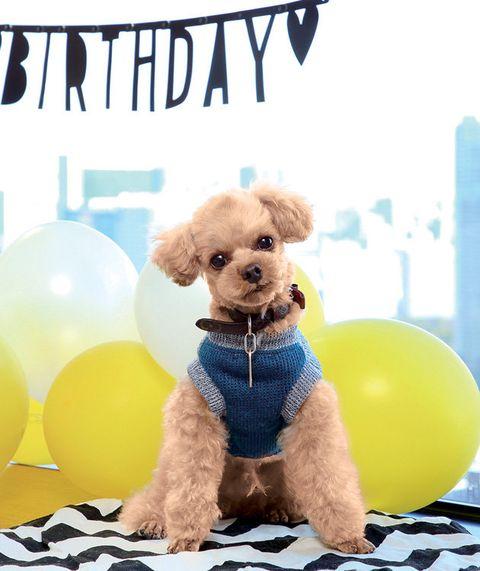 Dog, Canidae, Dog breed, Puppy, Companion dog, Toy Poodle, Dog toy, Carnivore, Poodle, Dog clothes,