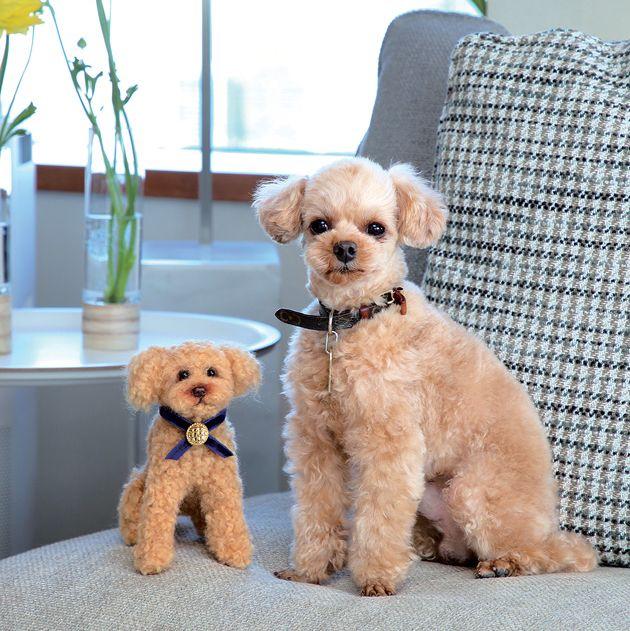 dog, canidae, mammal, puppy, dog breed, toy poodle, companion dog, carnivore, maltepoo, poodle,