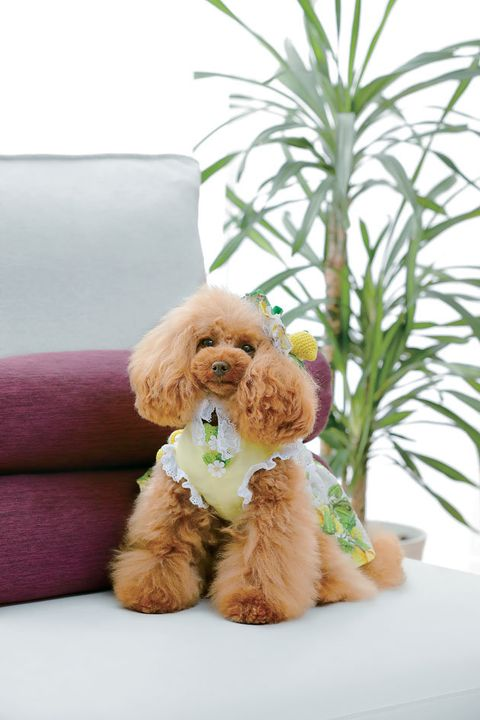 Dog, Canidae, Toy Poodle, Companion dog, Dog breed, Puppy, Poodle, Carnivore, Miniature Poodle, Grass,