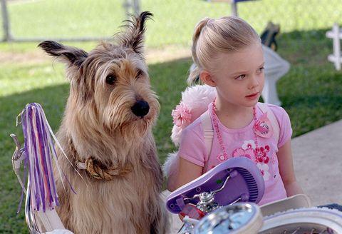 Dog, Mammal, Vertebrate, Canidae, Dog breed, Terrier, Carnivore, Australian terrier, Berger picard, Companion dog,