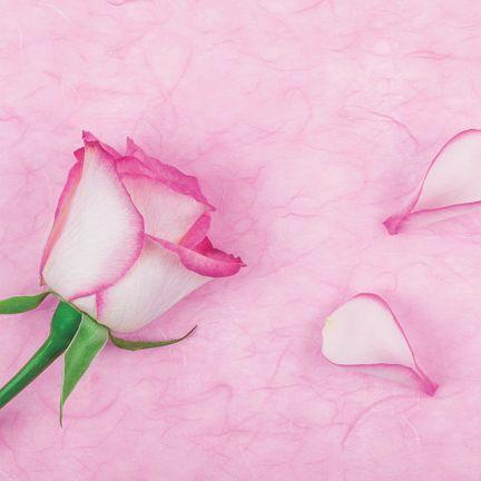 Pink, Petal, Flower, Plant, Bud, Botany, Rose, Flowering plant, Pedicel, Plant stem,