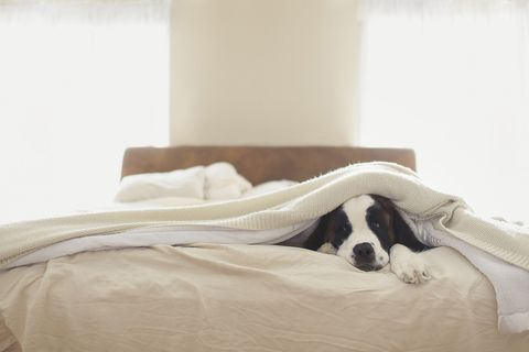 Bed sheet, Bedding, Room, Furniture, Comfort, Bed, Bedroom, Linens, Canidae, Companion dog,