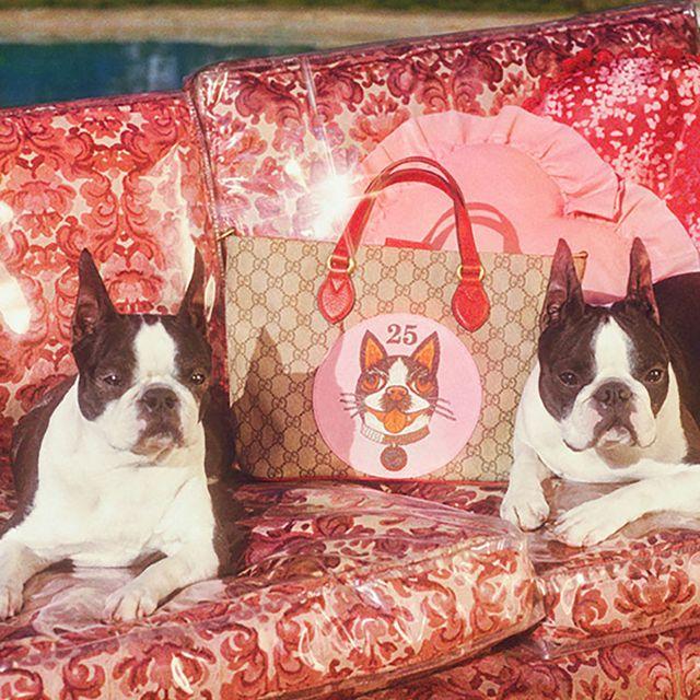 Dog, Mammal, Vertebrate, Canidae, French bulldog, Boston terrier, Dog breed, Carnivore, Non-Sporting Group, Companion dog,