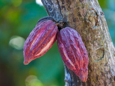 Cocoa bean, Plant, Tree, Leaf, Bean, Flower,