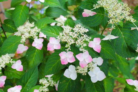 Flower, Petal, Groundcover, Flowering plant, Annual plant, Lantana, Perennial plant, Hydrangeaceae, Hydrangea, Cornales,