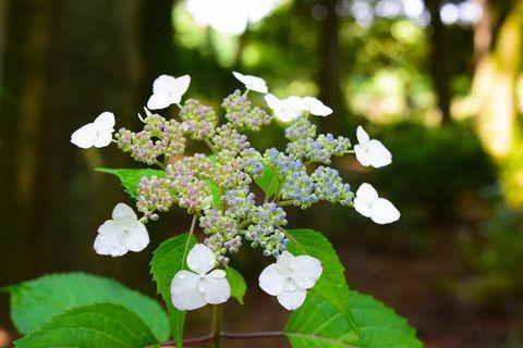 Flower, Flowering plant, Plant, Leaf, Spring, Hydrangea serrata, Hydrangea, Petal, Viburnum, Cornales,