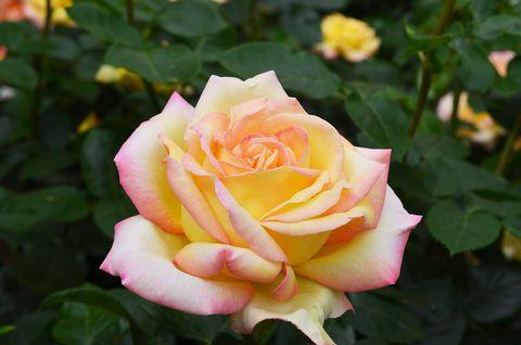 Yellow, Plant, Petal, Flower, Pink, Shrub, Botany, Garden roses, Rose family, Flowering plant,