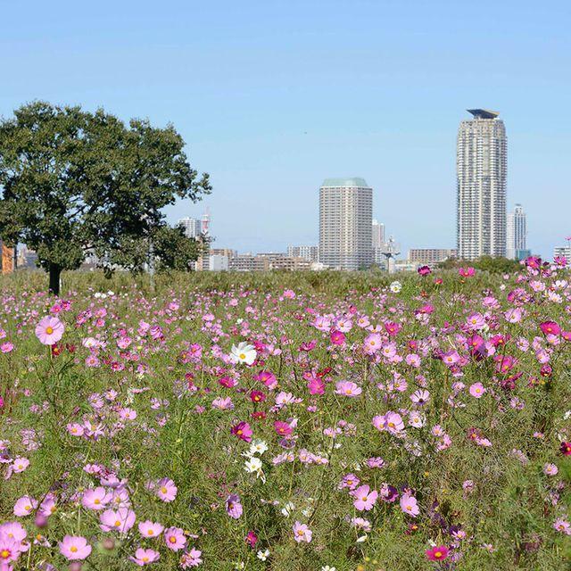 Flower, Flowering plant, Plant, Garden cosmos, Cosmos, Meadow, Wildflower, Botany, Spring, Petal,