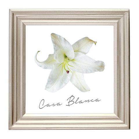 White, Picture frame, Lily, Flower, Petal, Amaryllis belladonna, Plant, Flowering plant, Lily family, Hippeastrum,