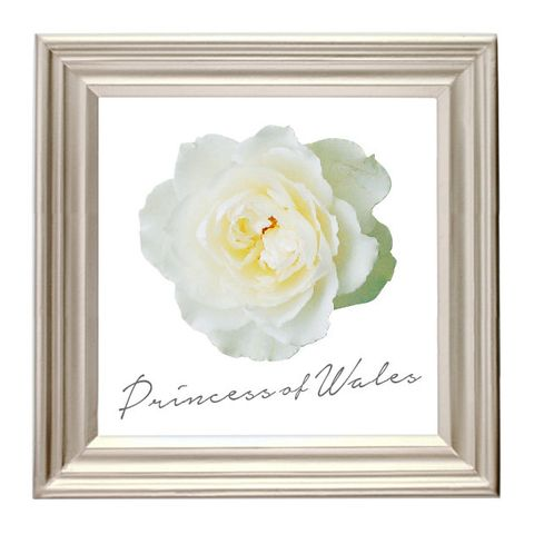 White, Picture frame, Yellow, Petal, Flower, Rose, Rose family, Plant, Beige, Garden roses,
