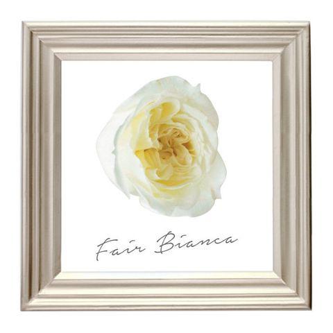 White, Yellow, Picture frame, Rose, Petal, Flower, Rose family, Garden roses, Plant, Beige,