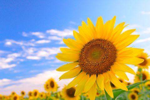 Flower, Sunflower, Flowering plant, Sky, Yellow, sunflower, Plant, Sunflower seed, Pollen, Petal,