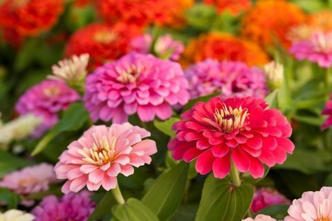Flower, Flowering plant, Petal, Plant, Zinnia, Pink, common zinnia, Annual plant, Zinnia angustifolia, Dahlia,