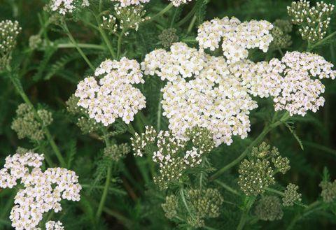 Flower, Flowering plant, Plant, Cow parsley, Yarrow, Trachyspermum ammi, Anthriscus, Heracleum (plant), Parsley family, Water dropwort,