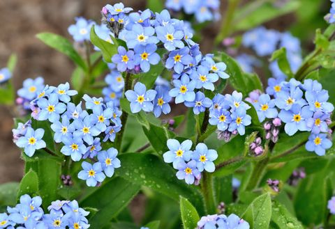 Flower, Flowering plant, Forget-me-not, Water forget me not, alpine forget-me-not, Plant, Blue, Petal, Borage family, Spring,