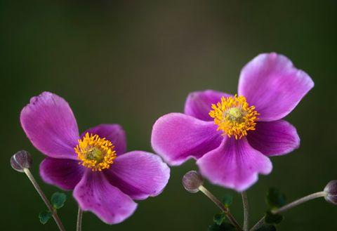 Flower, Flowering plant, Petal, Plant, japanese anemone, California wild rose, Rosa rubiginosa, Wildflower, Anemone, Prickly rose,